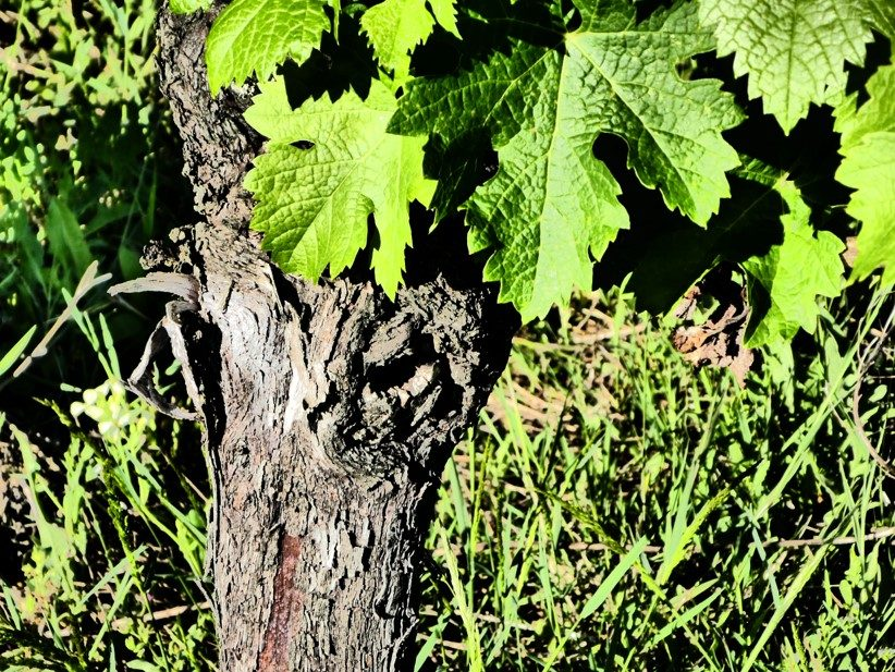 Une vieille vigne
