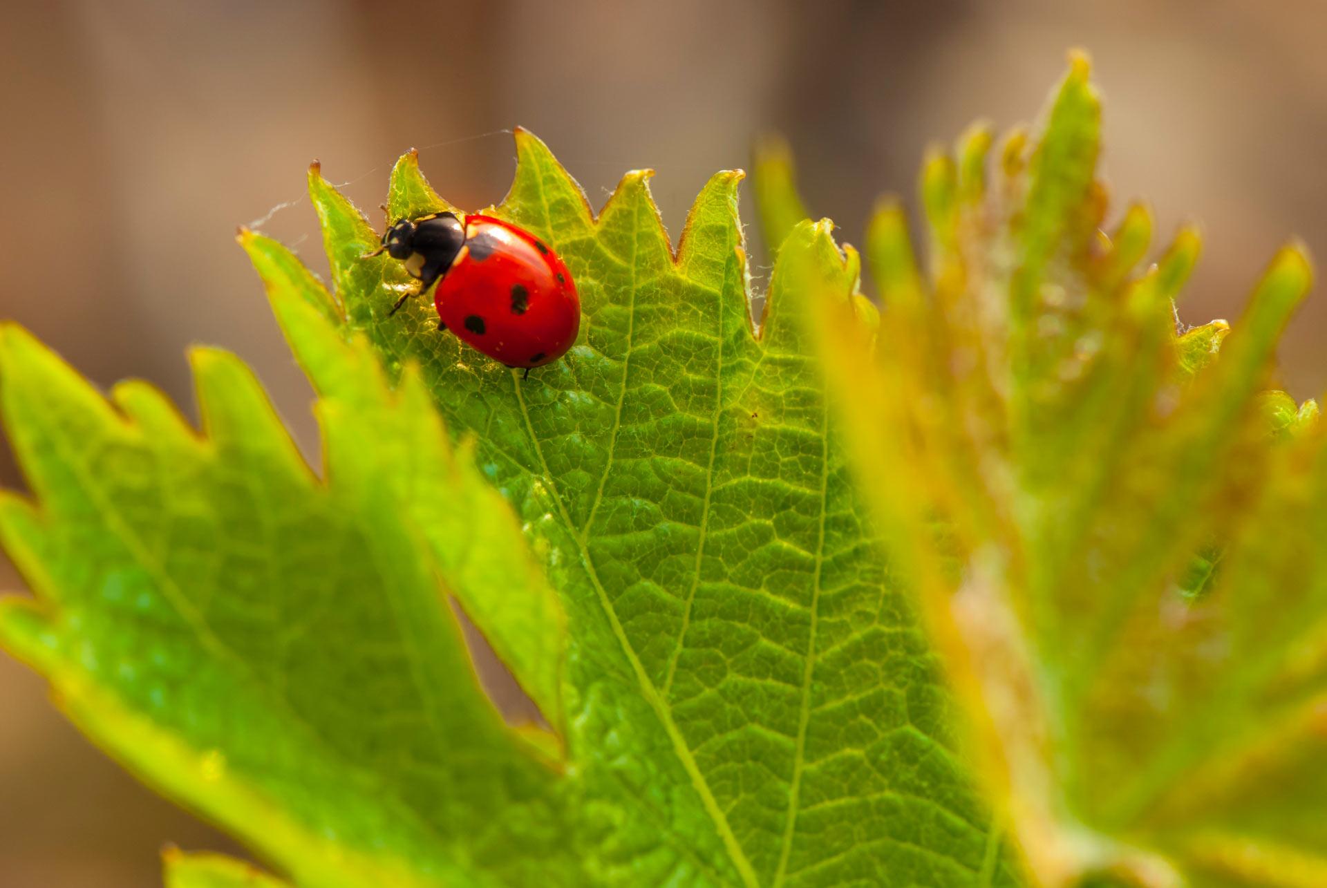 insecte sur feuille de vigne