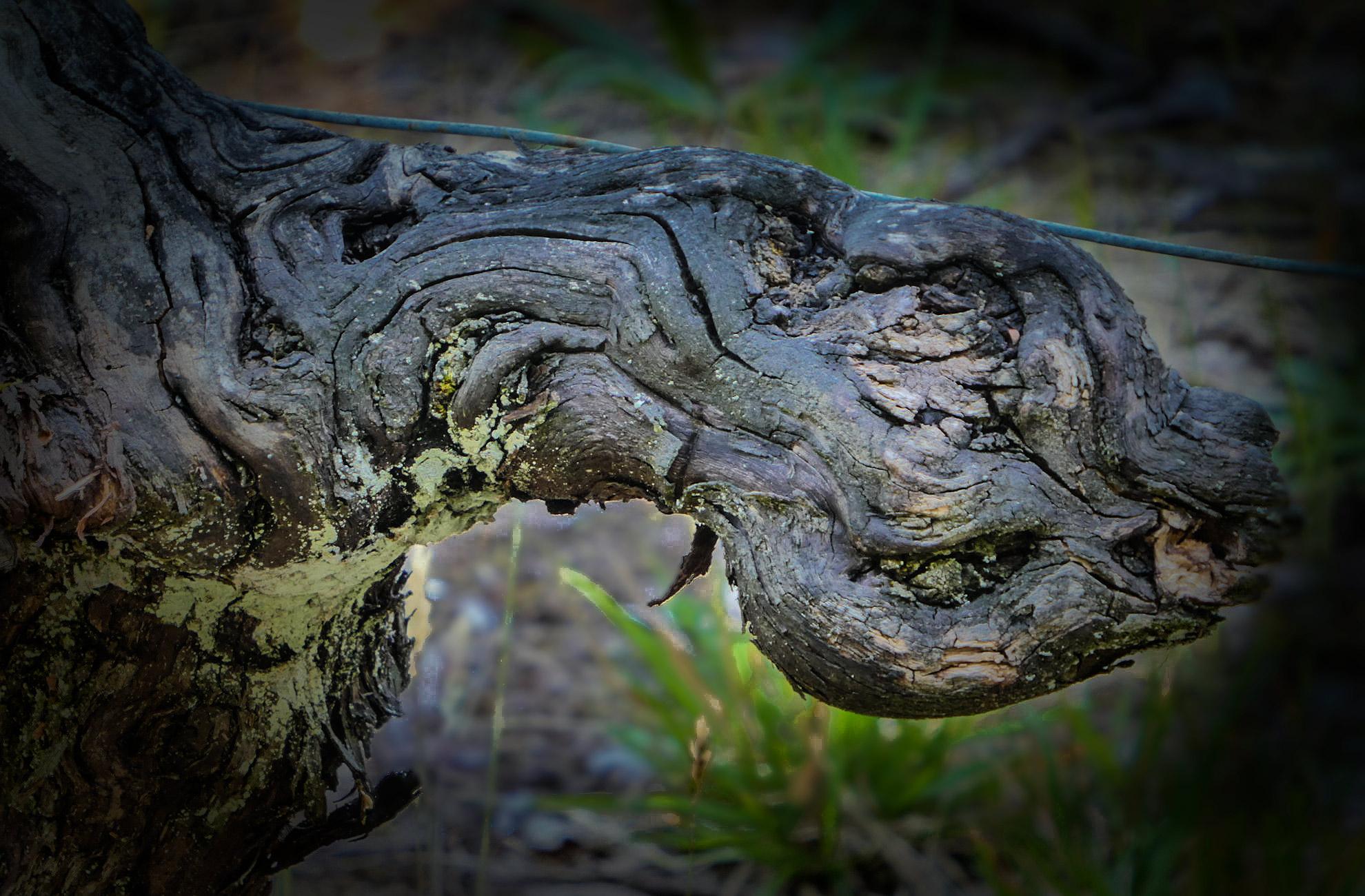 Vieux cep de vigne à la mine torturée